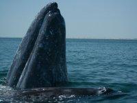 Ballena sacando la cabeza del agua