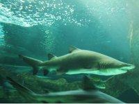 Adrenalina pura al nadar con tiburones toro