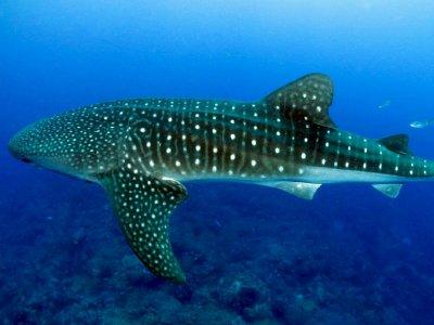 Phocea México Nado con Tiburón ballena