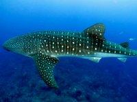 Impresionante vista de un tiburón ballena