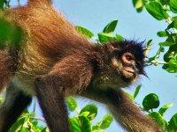 Mono araña en la selva maya