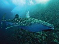 tiburones que llegan a holbox
