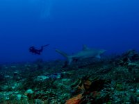 Buceo junto a tiburon