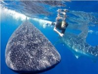 Haciendo snorkel junto al tiburon ballena