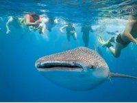 Tiburon ballena y snorkel