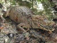 Chiapas crocodiles