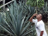 Ruta agaves