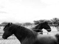Horses of the Percherones