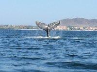 alistamiento de ballenas