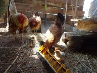 The ranch chickens