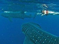 nada con tiburoes ballena