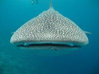 Admira al tiburon ballena