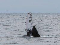 Conoce a la ballena gris