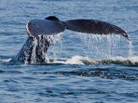 La ballena gris retirandose
