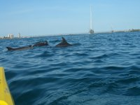 dolphins from the kayak