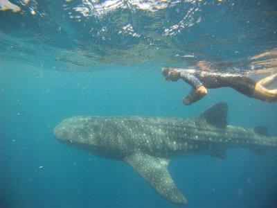 Caribbean Connection Nado con Tiburón Ballena