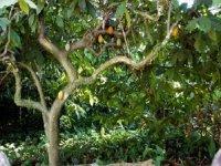 Cocoa tree in Chiapas