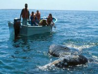 Knowing the gray whale