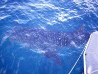 Avistar el tiburon ballena