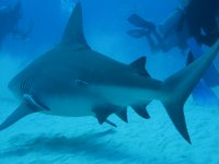 Diving with bull sharks in winter
