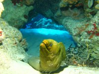 Green moray typical of Cozumel