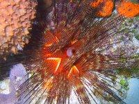 Black Sea Urchin of the Caribbean