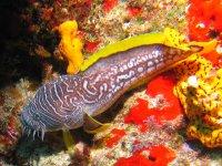 Splendid Toadfish, endemic to Cozumel