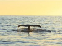Cola de ballena al atardecer