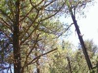 Sierra Durango pines