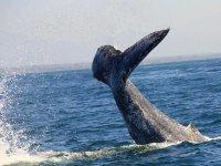 Whale in Puerto Vallarta