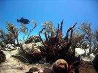 Caribbean Reefs
