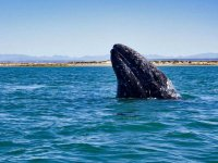 Gray whales in the Mexican Pacific
