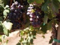 Knowing the different types of grapes