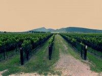 Vineyard in Queretaro