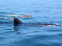 Snorkel con tiburon Ballena