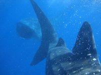 El tiburon ballena