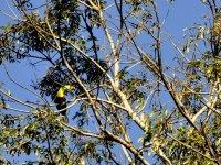 Tucan en Mayabell