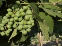 Vine from toyan