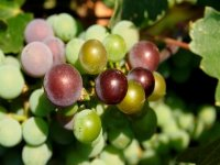 grapes from toyan