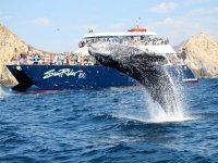 La ballena gris saltando