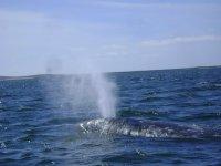 Avistamiento de ballenas wow en Loreto