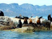 Leones Marinos en las Isla Coronado Loreto