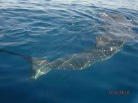 Tiburones en las aguas del caribe