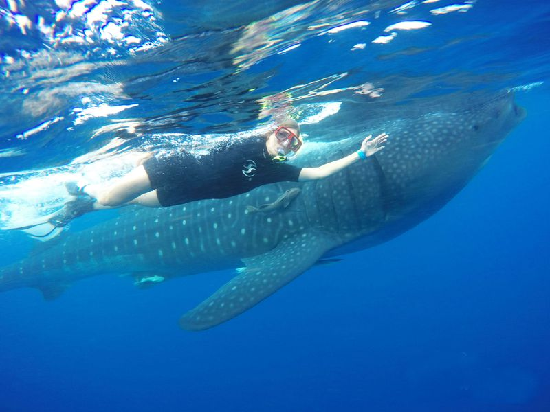 Is the whale shark dangerous? Should I worry for my safety?