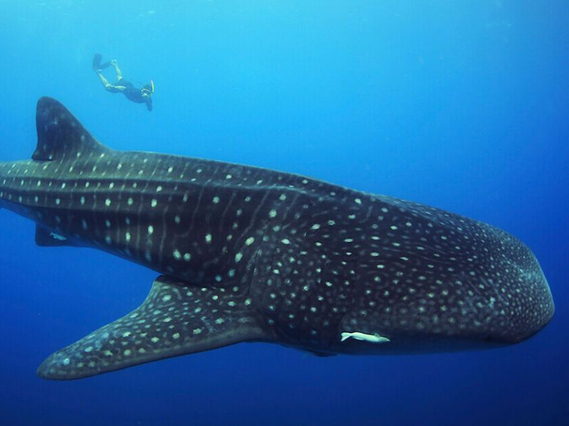 What does it mean for me and for society to know and live with the whale shark?